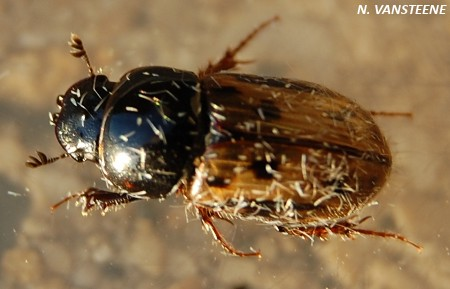 Chilothorax distinctus