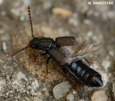 Coprophilus striatulus