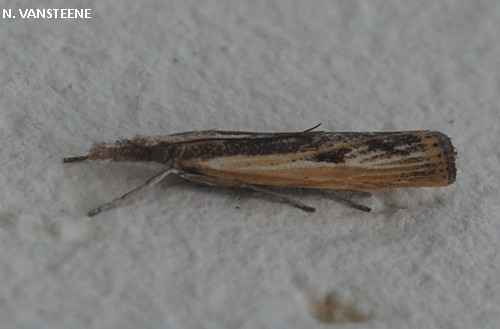 Agriphila inquinetella