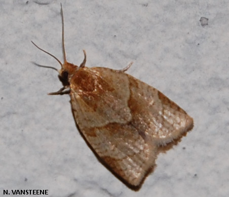 Clepsis rurinana