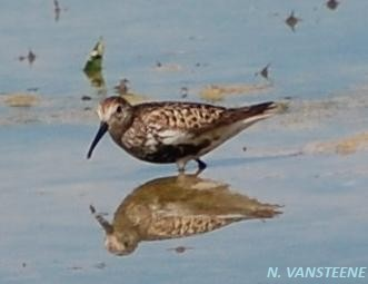 Calidris alpina